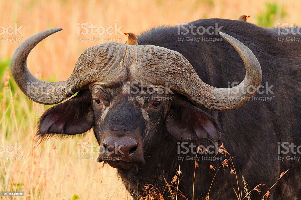 Male buffalo stock photo