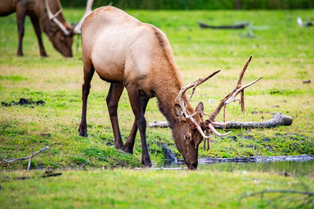 Male bull elk drinking water in Alaska national park close up stock photo