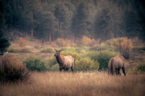 Male bull elk grazing at Moraine Park in Rocky Mountain National Park at dusk stock photo