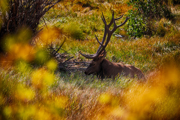 Male bull elk resting in Estes Park Colorado stock photo