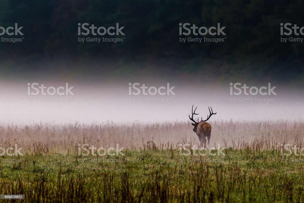 Male bull elk walks into the mist in North Carolina. stock photo