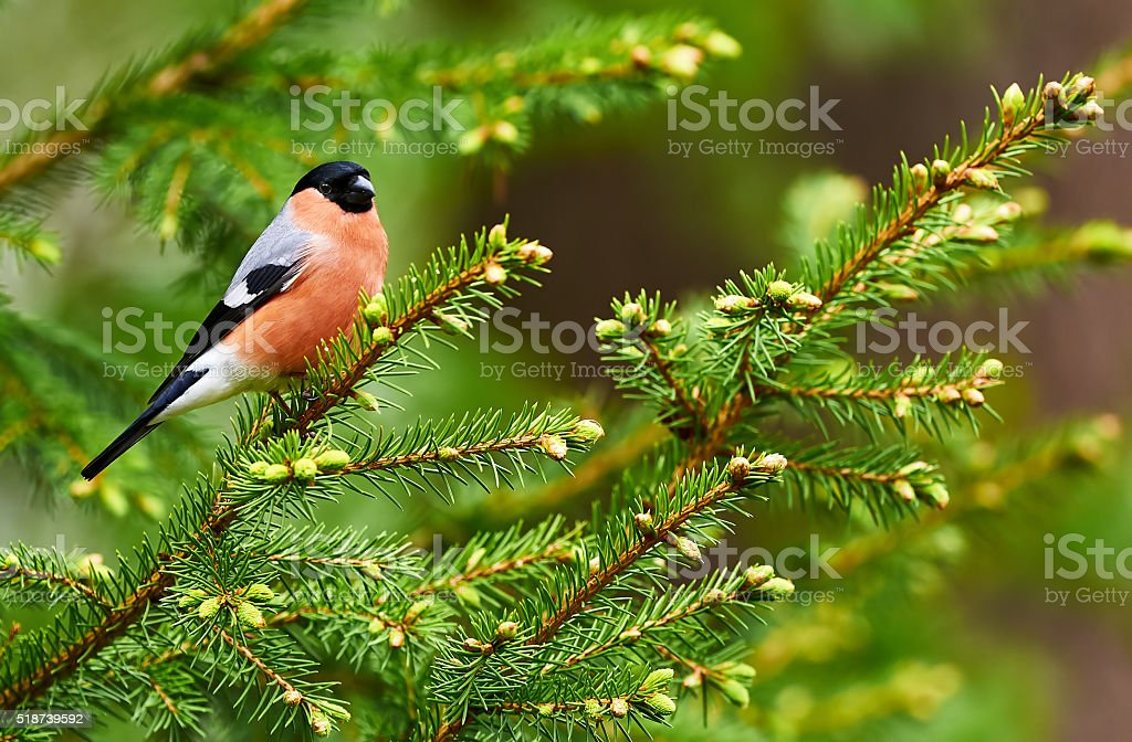 Male Bullfinch stock photo