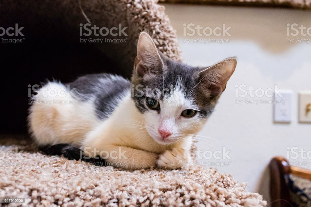 Male Calico Kittens Playing stock photo