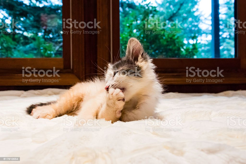 Male Calico Kittens Playing Stock Photo - Download Image Now - iStock