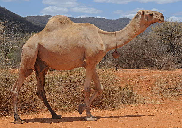 Male camel with bell, moyale, kenya stock photo