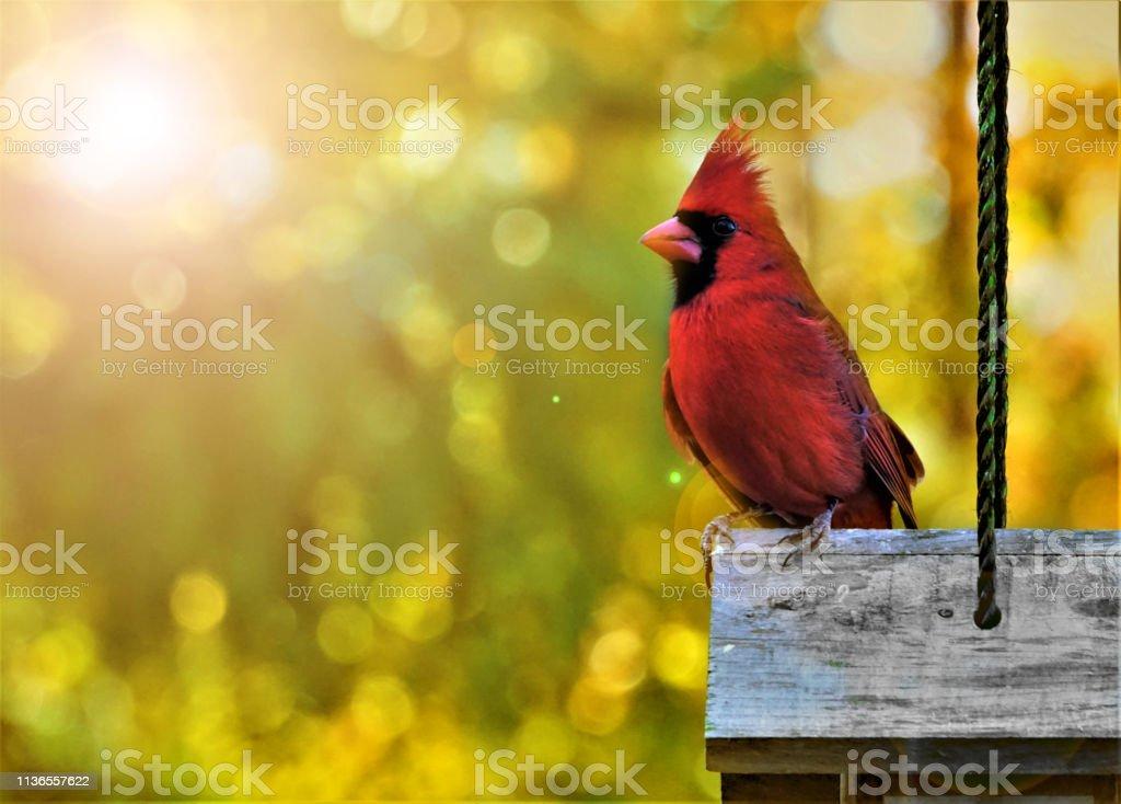 Mannelijke kardinaal vogel met 's ochtends licht flare - Royalty-free Bontgekleurd Stockfoto