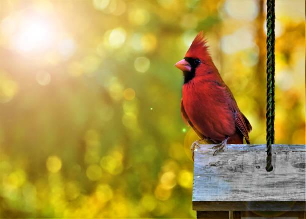 mannelijke kardinaal vogel met 's ochtends licht flare - ornithologie stockfoto's en -beelden