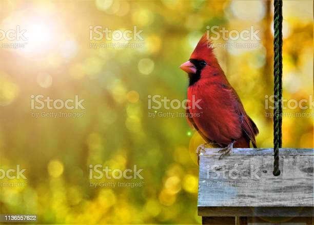 Mannelijke Kardinaal Vogel Met S Ochtends Licht Flare Stockfoto en meer beelden van Bontgekleurd