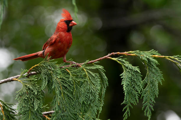 Male Cardinal birds red and beautful stock photo