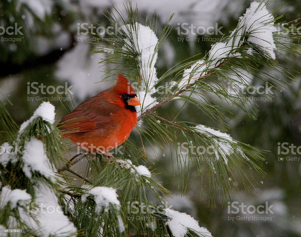 Male Cardinal in Pine Tree stock photo