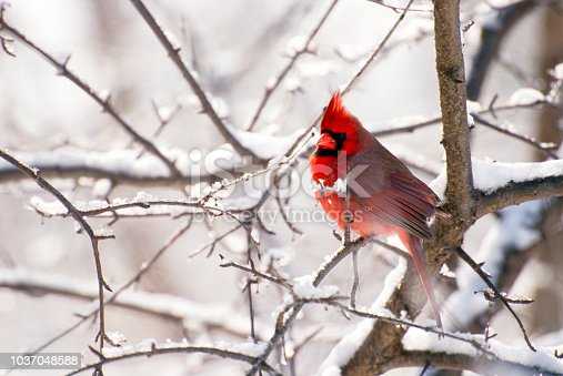 A male Cardinal perches on a snow-covered branch in a back yard in Wisconsin.