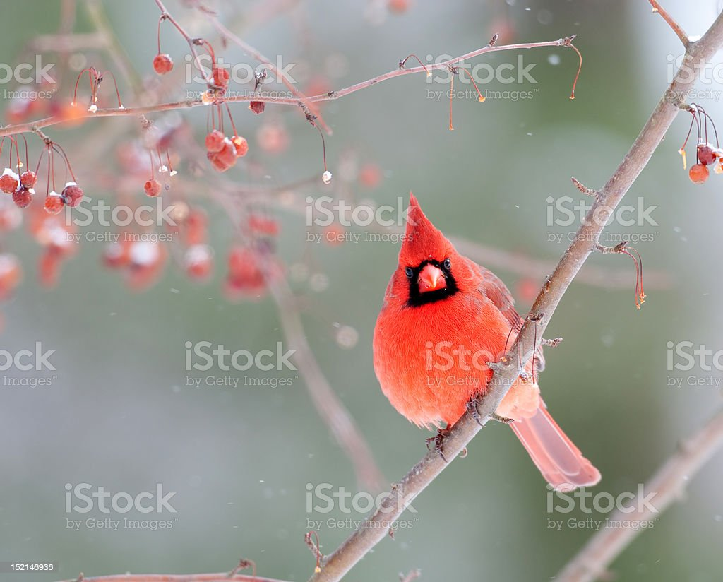 Male cardinal in winter royalty-free stock photo