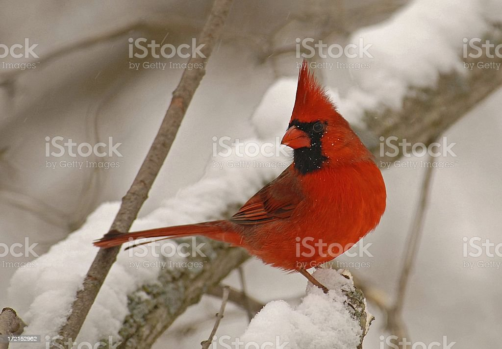 Male Cardinal royalty-free stock photo