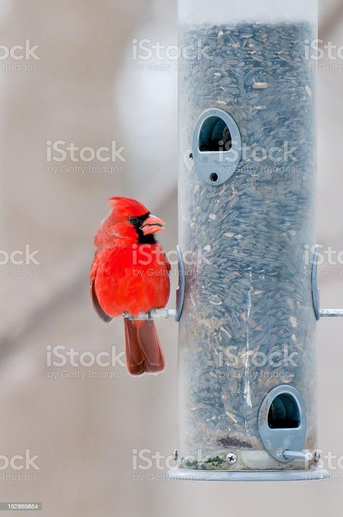 Male cardinal sits on bird feeder stock photo