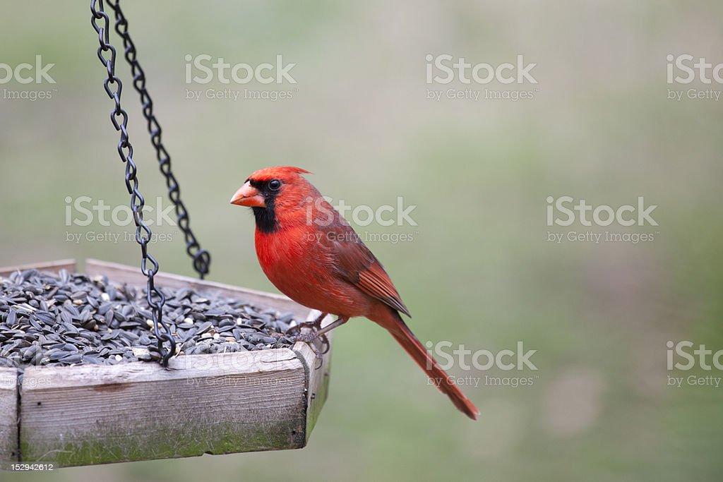 Male Cardinal sitting on bird feeder stock photo