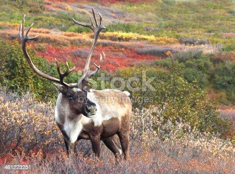 Male Caribou grazing in Autumn Tundra, Alaska Range