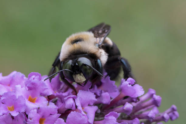 Male Carpenter Bee on Butterfly Bush stock photo