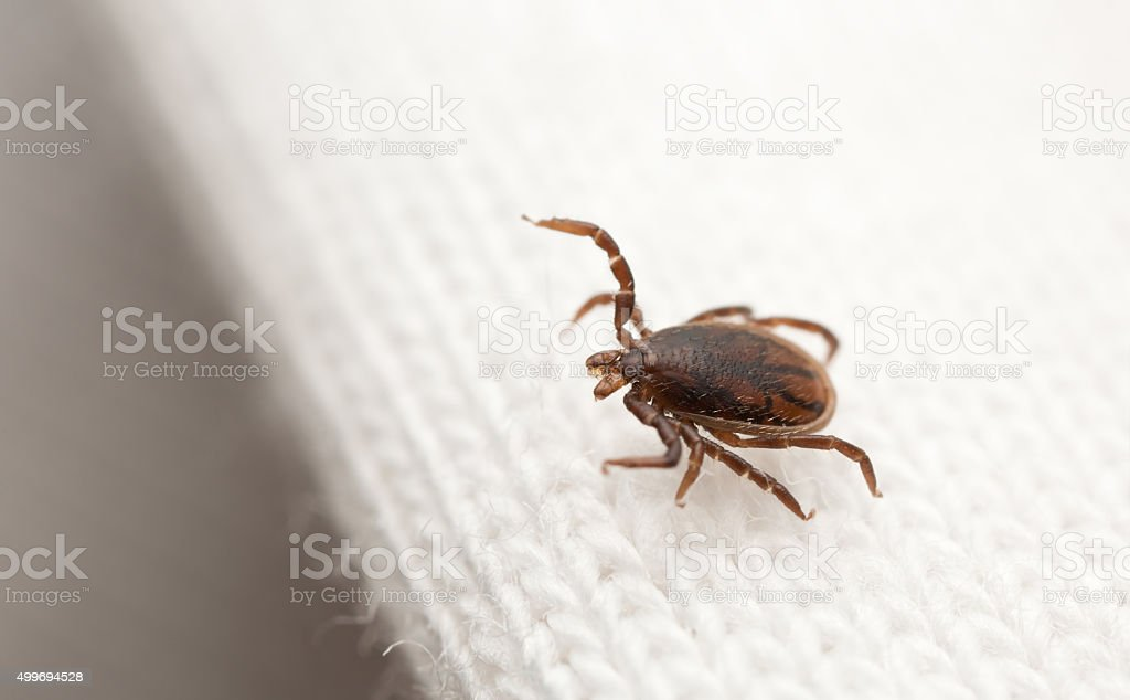 Male castor bean tick, Ixodes ricinus nymph on textile stock photo