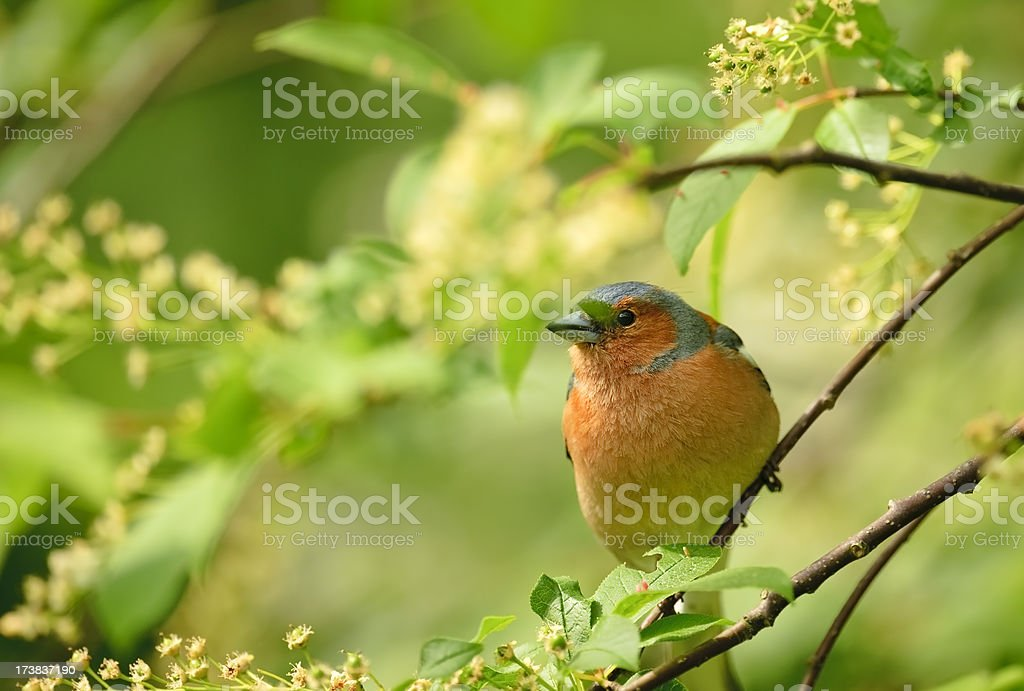 Male Chaffinch on a branch royalty-free stock photo
