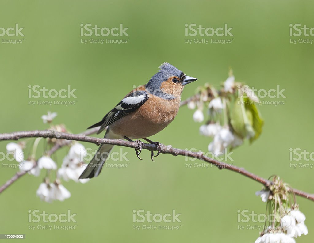 Male Chaffinch (Fringilla coelebs) on twig with plum blossom stock photo