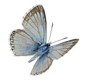 istock Male Chalkhill blue (Polyommatus coridon) in flight 882538462