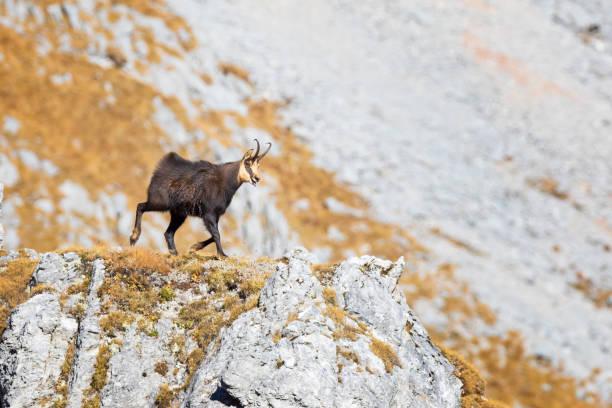 Männliche Gams bei der Paarung würzen (Rupicapra Rupicapra) - Alpen – Foto