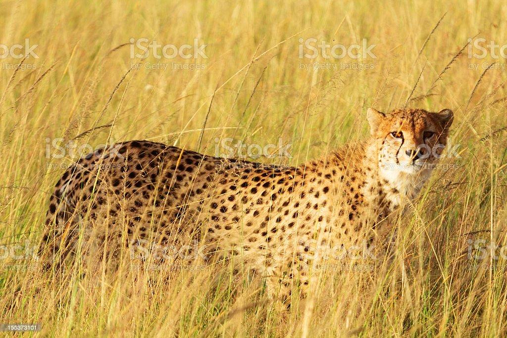 Male cheetah in Masai Mara royalty-free stock photo
