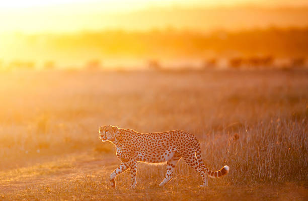 Male Cheetah on the prowl stock photo