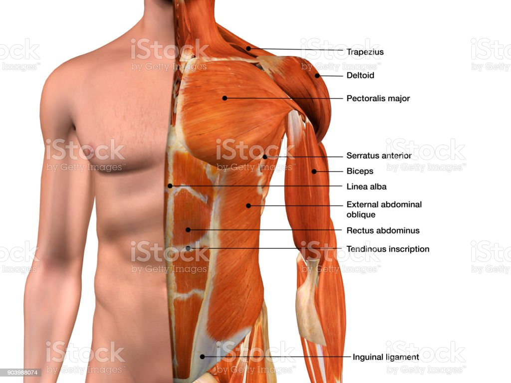 Male Chest Muscles Labeled on White stock photo
