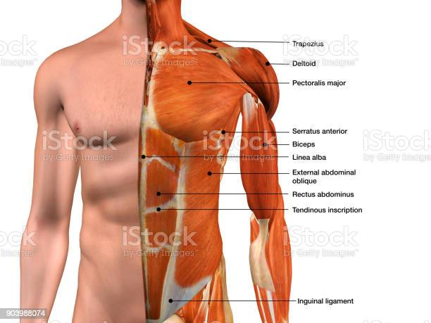 Male Chest Muscles Labeled On White Stock Photo - Download Image Now