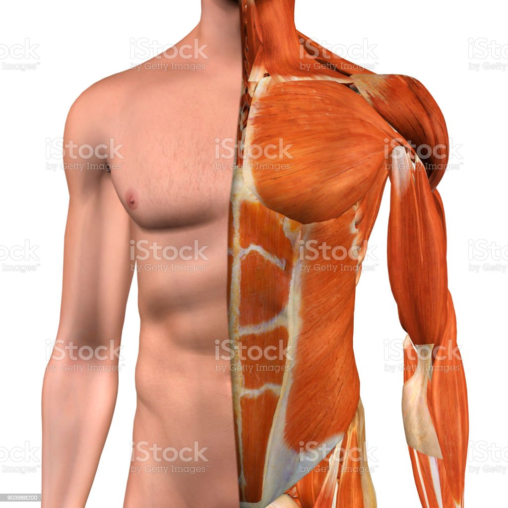 Male Chest Muscles on White stock photo