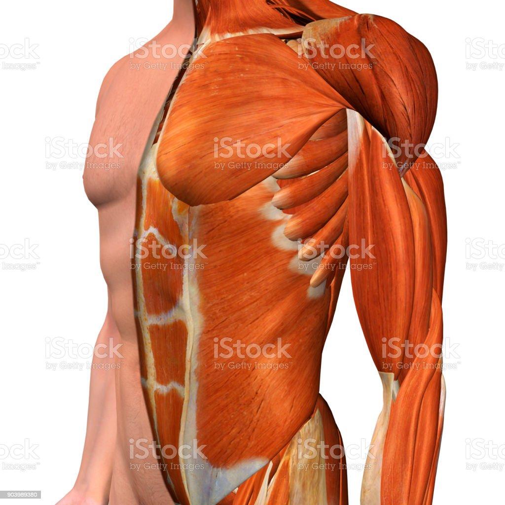 Fotografía de Músculos Del Pecho Masculino En Blanco y más banco de ...