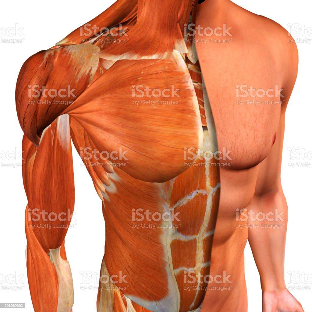 Fotografía de Los Músculos De Pecho Masculino Tres Cuartos Vista ...