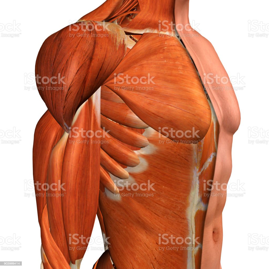 Male Chest Muscles Three Quarter Side View on White stock photo