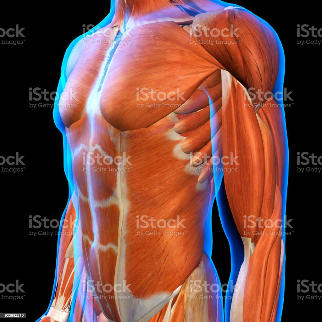 Male Chest Muscles Under Blue Xray Skin On Black Stock Photo More