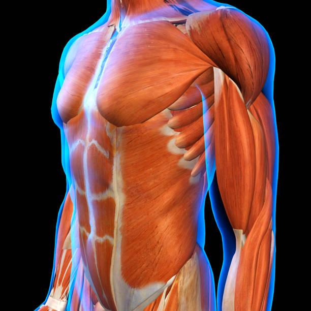 男性胸肌下藍色 x 射線皮膚黑色 - 肌肉 個照片及圖片檔