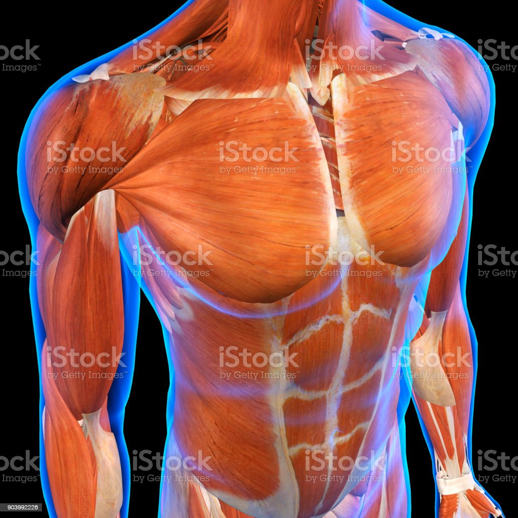 Male Chest Muscles Under Blue X-ray Skin on Black stock photo