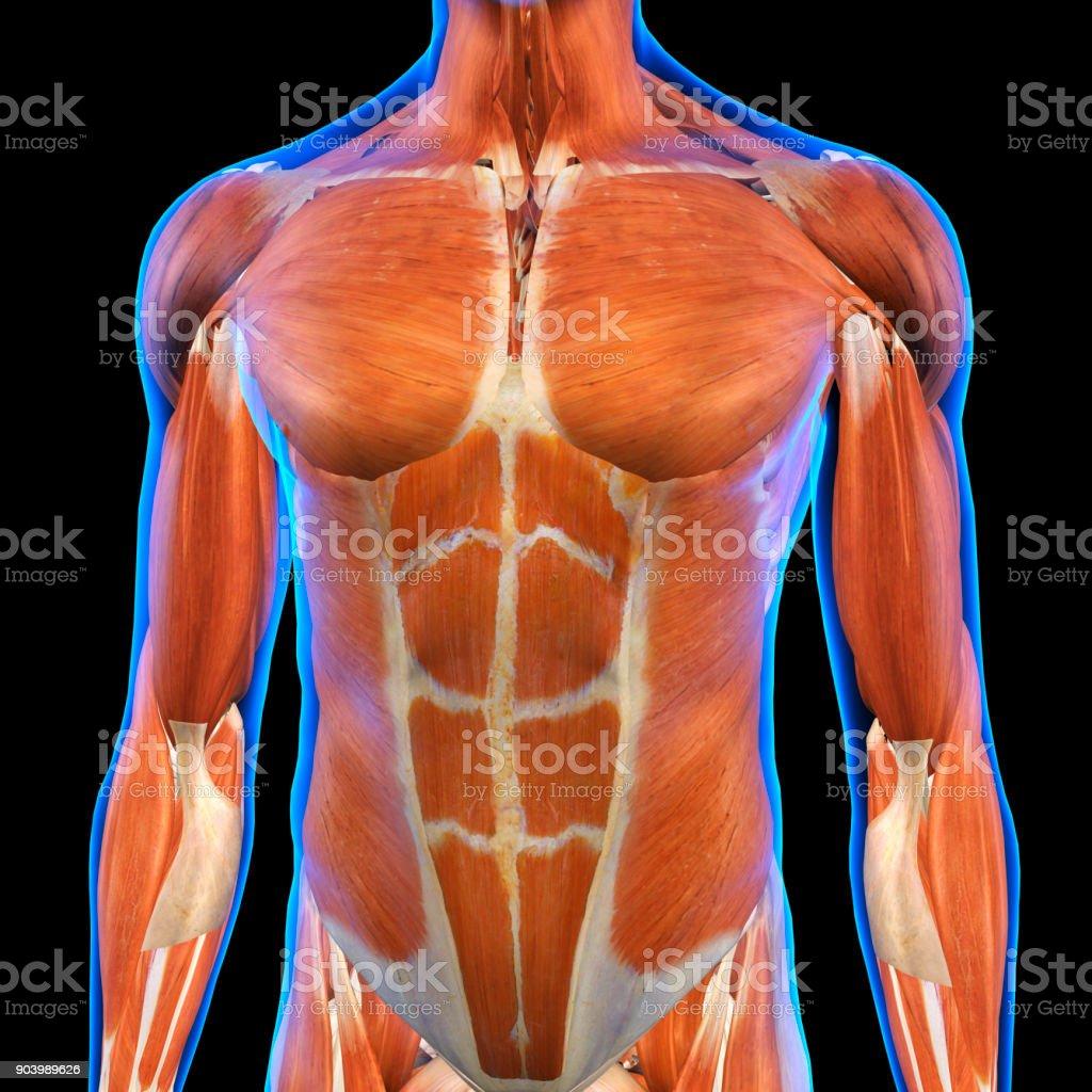 Fotografía de Hombre Pecho Músculos Rayos X Vista En Negro y más ...