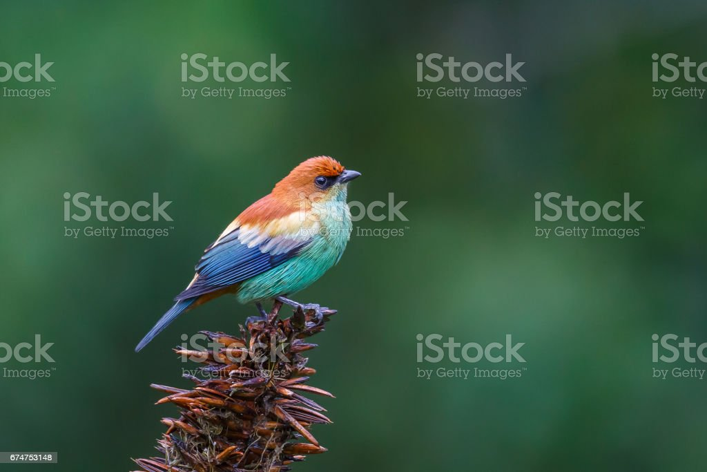 Male Chestnut backed Tanager stock photo