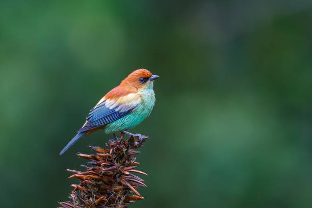 male chestnut backed tanager - bird stock photos and pictures
