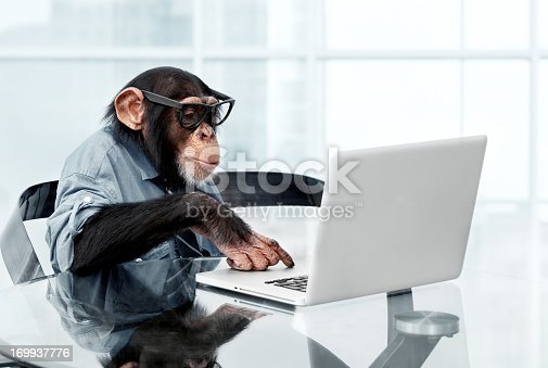 Male chimpanzee in business clothes using a laptop