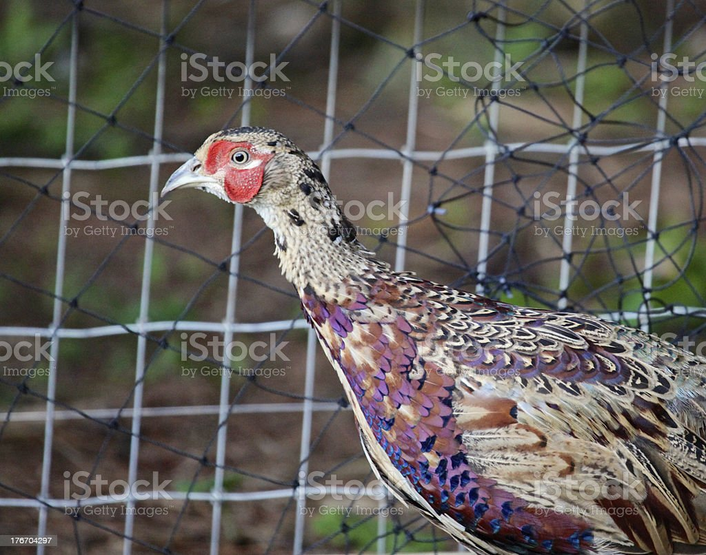 Male Chinese Ringneck Pheasant royalty-free stock photo
