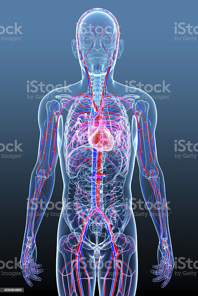 Male circulatory system stock photo