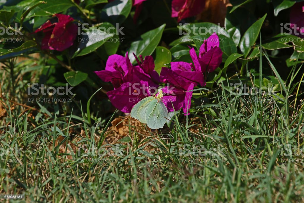 Male Cleopatra or brimstone butterfly on bougainvillea flower in Italy. Latin name gonepteryx cleopatra rhamni from pieridae group with yellow flash on wing stock photo