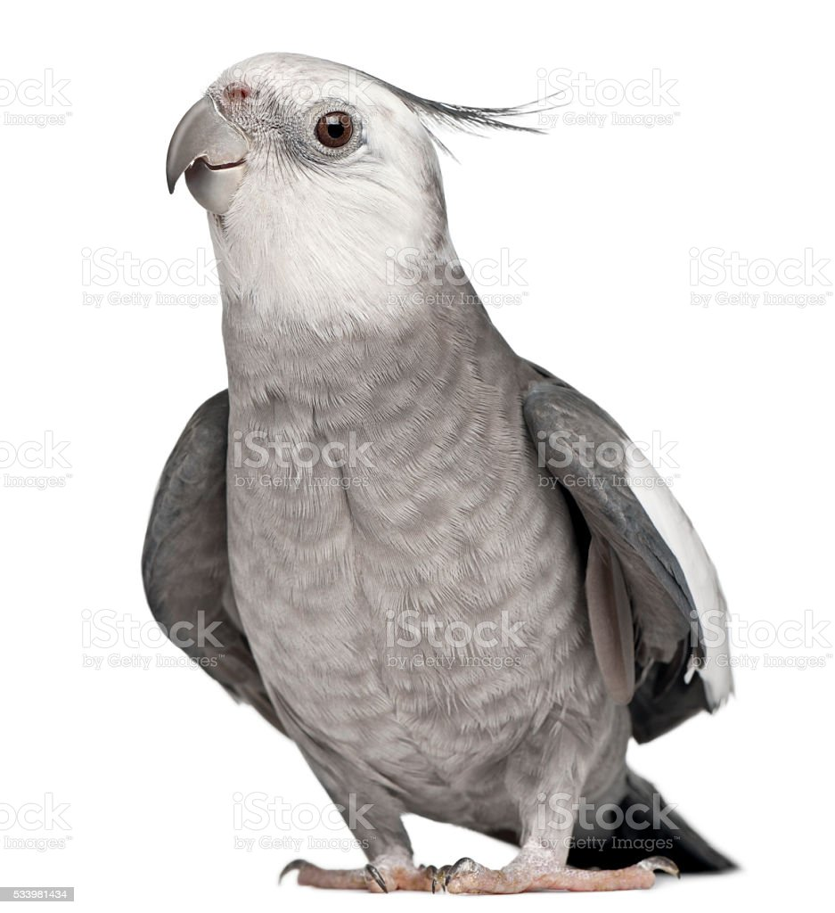 Male Cockatiel, Nymphicus hollandicus, in front of white background stock photo