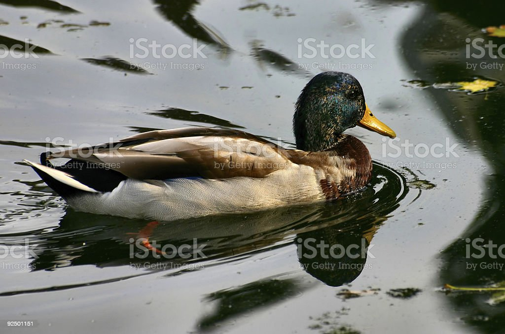 male colorful duck royalty-free stock photo