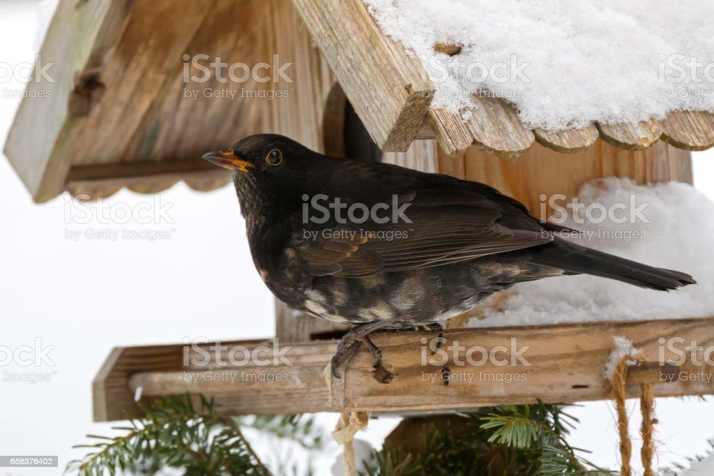 Male Common blackbird bird in black with albino grey white feather on wooden bird feeder in Austria, Europe stock photo