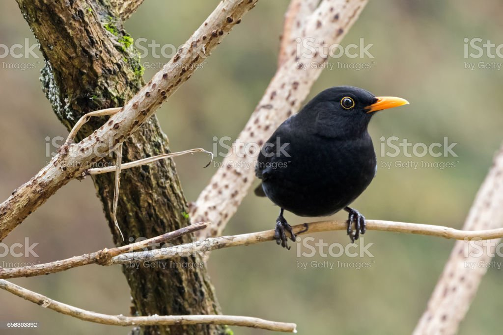 Male Common blackbird bird in black with yellow eye ring, beak perching on dried tree branch during winter stock photo