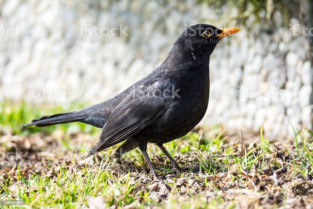 Male Common Blackbird royalty-free stock photo