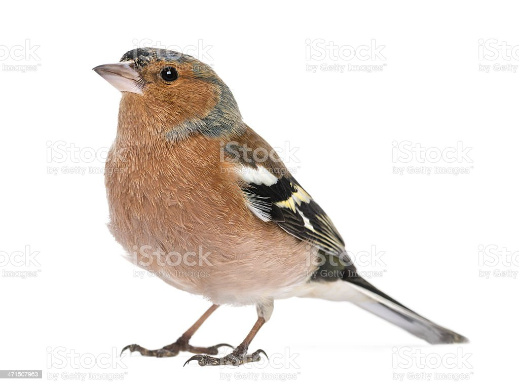 Male Common Chaffinch - Fringilla coelebs, isolated on white stock photo